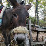 In Casentino, turismo esperienziale a dorso d'asino