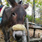 Tuscany: Donkey trips in the Casentino Forest National Park