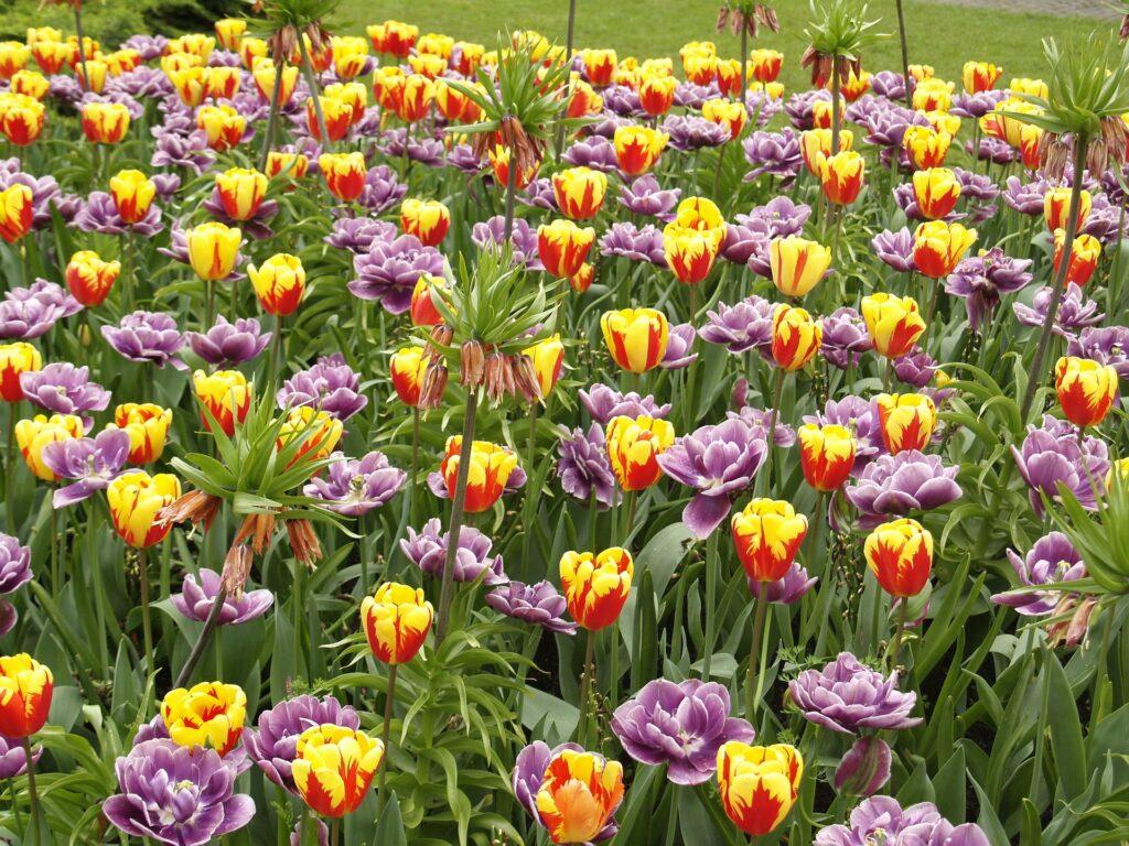 Tulipani del parco giardino Sigurtà