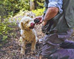 A caccia del tartufo in Valdichiana senese con un'escursione organizzata!